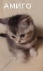 Предлагаются британские котята