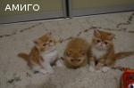 Предлагаются котята Экзоты
